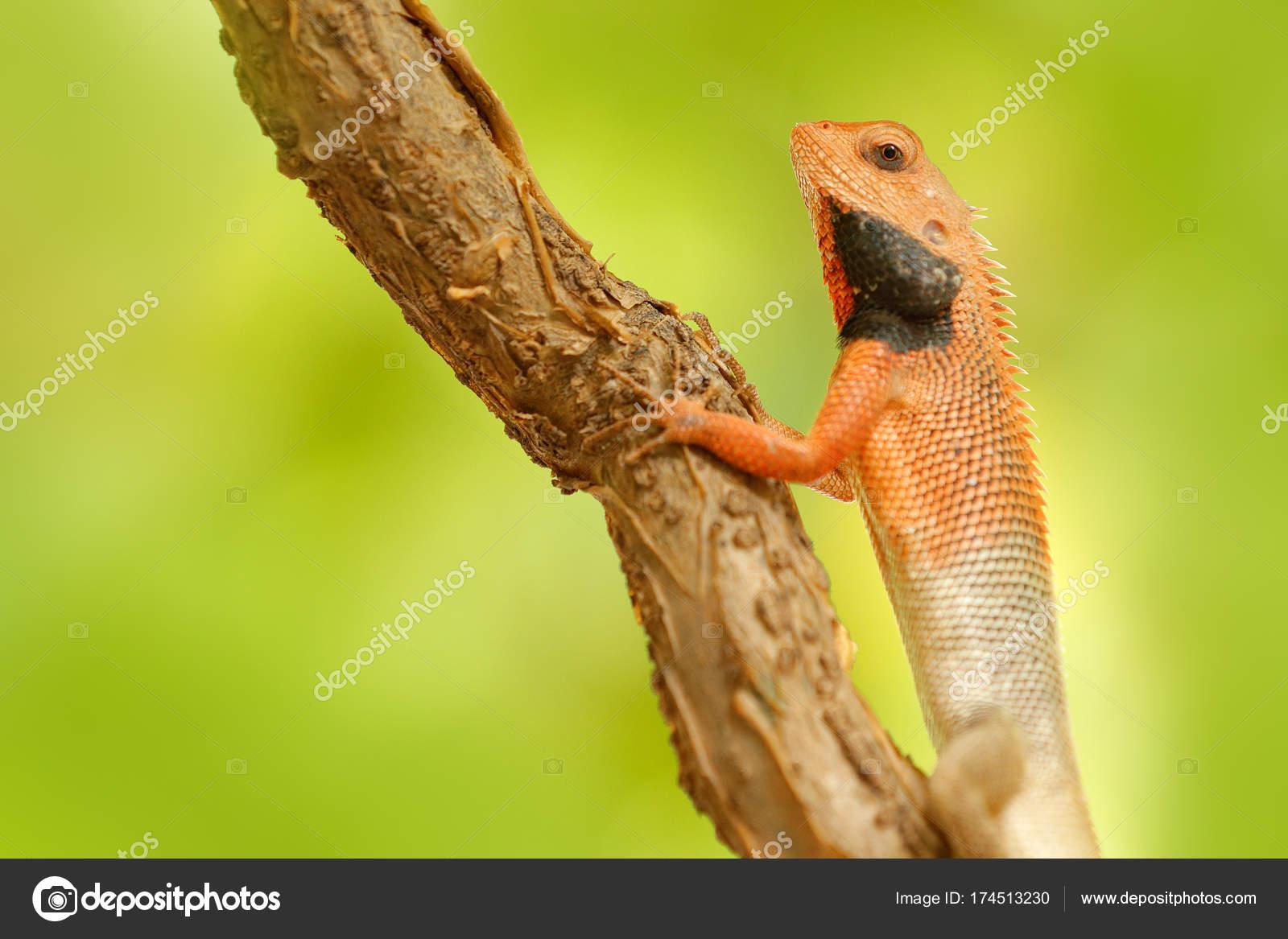 Garden Lizard Calotes Versicolor U2014 Stock Photo