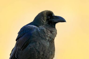 Black raven in grass