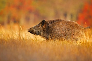 Wild boar, Sus scrofa, running in the grass meadow, red autumn forest in background. Wildlife scene from nature. Big wild pig in grass meadow, animal running, Czech Republic. Autumn in the forest.