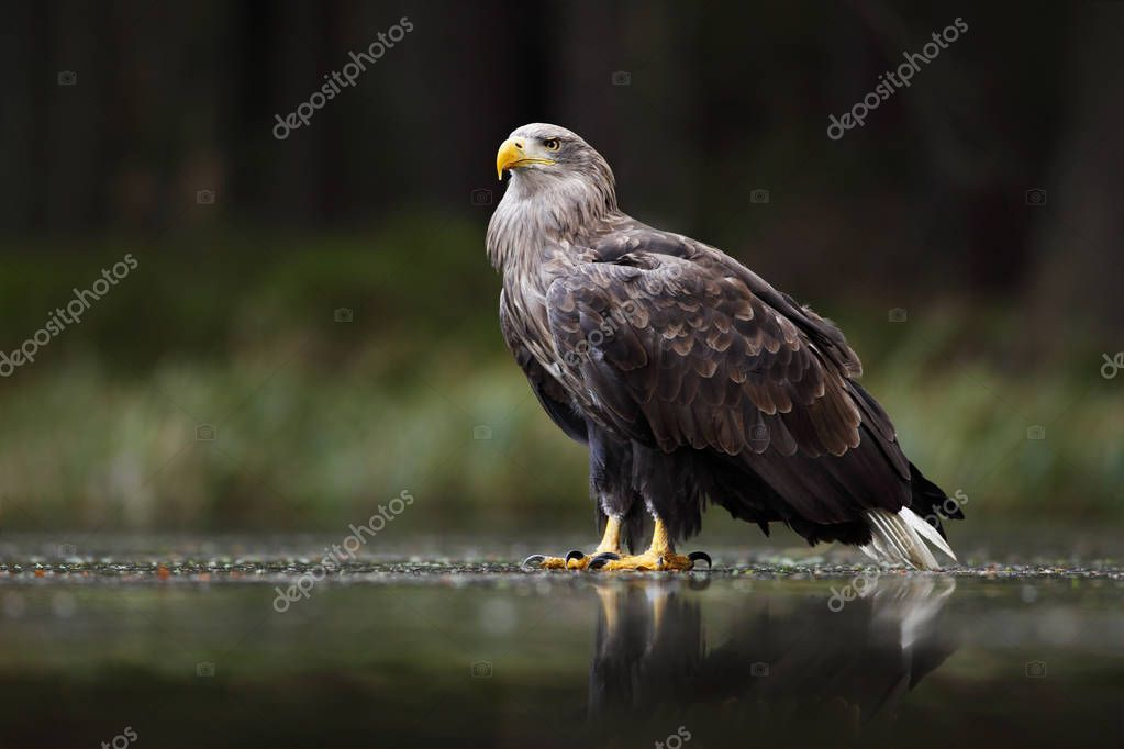 White-tailed Eagle in snowy meadow