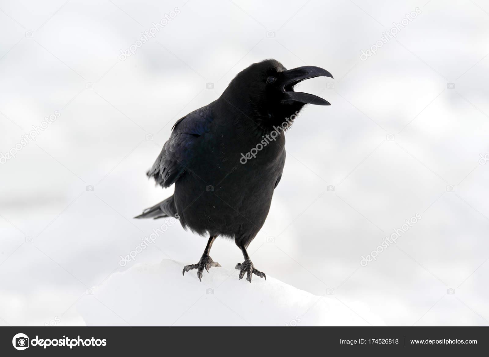 Μεγάλο μαύρο πουλί λευκό