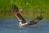Osprey catch fish