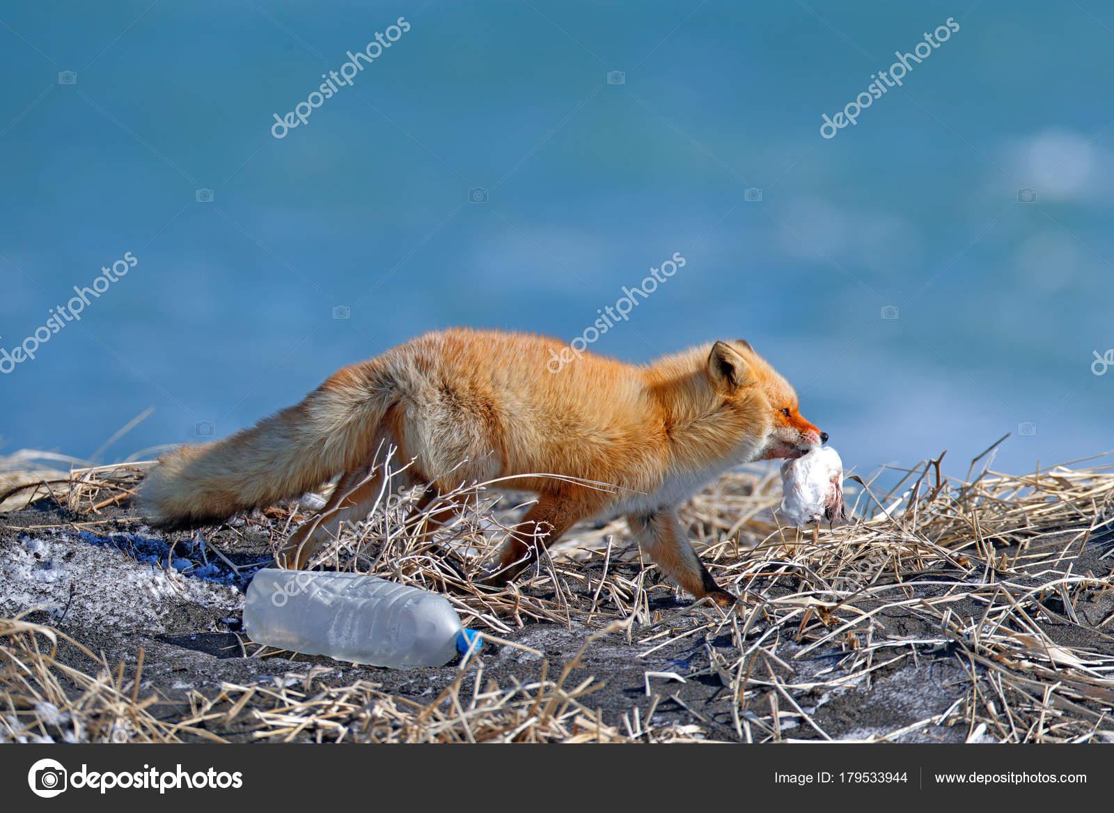 Rotfuchs Mit Haken Vogel Und Müll Plastikflasche Tierwelt Szene Aus