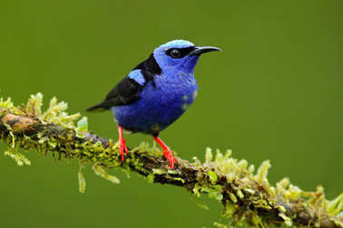 Red-legged Honeycreeper, Cyanerpes cyaneus, exotic tropic blue bird with red leg from Costa Rica. Tinny songbird in the nature habitat. Colour bird in the forest. Tanager birdwatching in South America