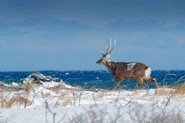 Hokkaido sika deer, Cervus nippon yesoensis, in snow meadow, blue sea with waves in background. Animal with antler in nature habitat, winter scene, Hokkaido, wildlife nature, Japan.