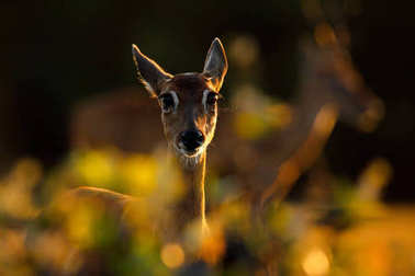 Evening back-light portrait deer. Pampas Deer, Ozotoceros bezoarticus, sitting in the green grass, Pantanal, Brazil. Wildlife scene from nature. Deer, nature habitat. Wildlife Brazil. Sunset in forest