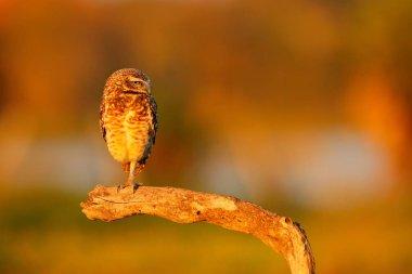Burrowing Owl, Athene cunicularia, night bird with beautiful evening sun light, animal in the nature habitat, Mato Grosso, Pantanal, Brazil. Wildlife scene from nature. Sunset with cute owl bird