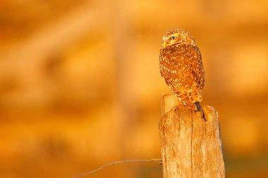 Burrowing Owl, Athene cunicularia, night bird with beautiful evening sun light, animal in the nature habitat, Mato Grosso, Pantanal, Brazil. Wildlife scene from nature. Sunset with cute owl bird.