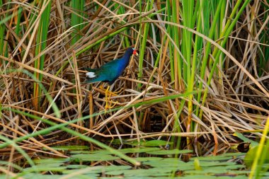Purple Gallinule, Porphyrio martinicus, bird in eater grass. Gallinule, green vegetation in lake, bird from Pantanal, Brazil. Art view ow wild nature, Wildlife Brazil.