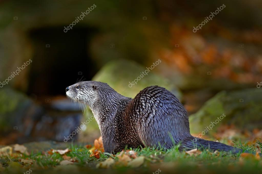 North American river otter, Lontra canadensis, detail portrait water animal in the nature habitat, Germany. Detail portrait of water predator. Animal from the river, Wildlife scene from the Europe.