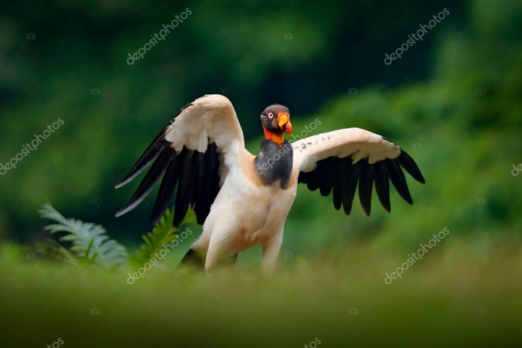 King vulture, Sarcoramphus papa, large bird found in Central and South America. Flying bird, forest in the background. Wildlife scene from tropic nature. Red head bird. Condor with open wing.