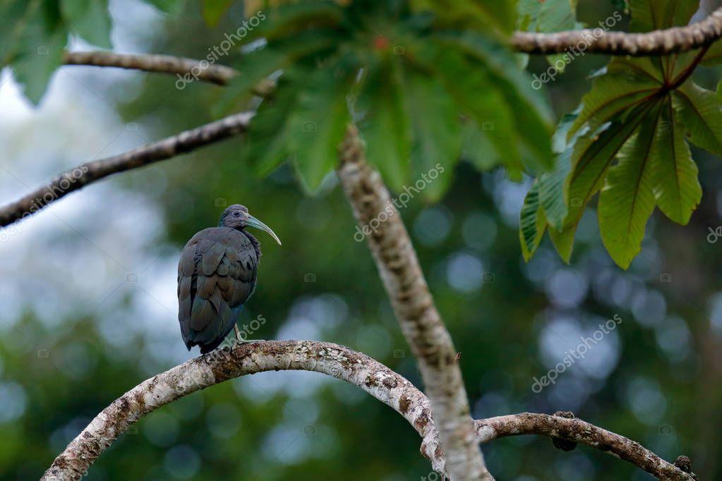 Green ibis, Mesembrinibis cayennensis, Cayenne ibis sitting on tree. Bird in the habitat. Wildlife scene from tropic jungle. Bird in habitat, Boca Tapada, Costa Rica.
