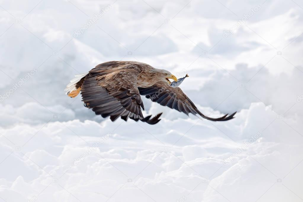 Flight White-tailed eagle, Haliaeetus albicilla, Hokkaido, Japan. Action wildlife scene with ice. Eagle in fly. Eagle fight with fish. Winter scene with bird of prey. Big eagles, snow sea.