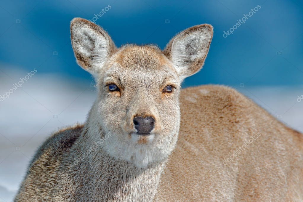 Hokkaido sika deer, detail portrait, in snow meadow, winter mountains and forest in the background. Animal with antler in nature habitat, winter scene, Hokkaido, wildlife nature, Japan.