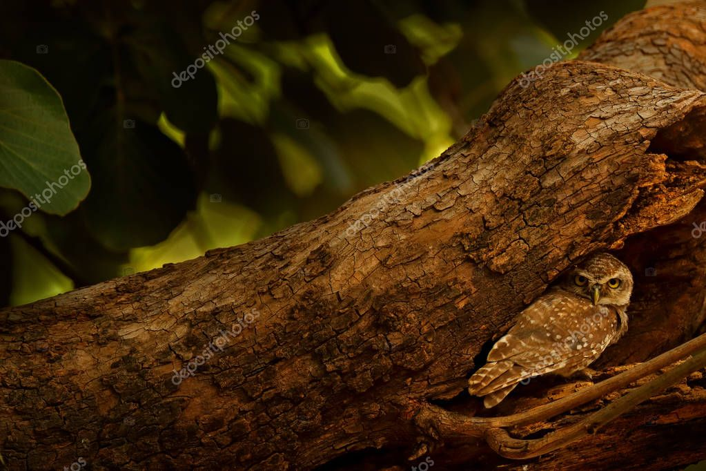 Spotted owlet, Athene brama, rare bird from Asia. India beautiful owl in the nature forest habitat. Bird from Ranthambore. Owl sitting on tree in the dark green tropic forest. Night owl image