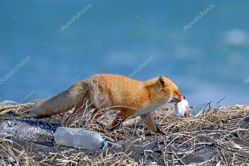 Red Fox, with catch bird and rubbish plastic bottle. Wildlife scene from nature. Cold winter with beautiful fox. Orange fur coat animal in the snow with fog. Winter meadow with red fox, cold Japan.