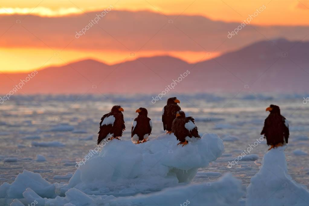 Eagle floating in sea on ice. Beautiful Steller's sea eagle, Haliaeetus pelagicus, flying bird of prey, with sea water, Hokkaido, Japan. Wildlife action behaviour scene, nature. Morning sun, sunrise.