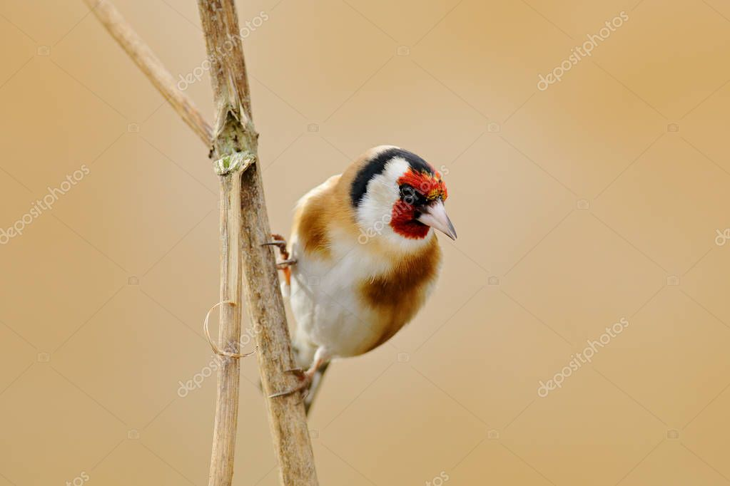 European Goldfinch, Carduelis carduelis, sitting on thistle, Sumava, Czech republic, Male grey songbird with green and yellow clear background. Wildlife scene from nature.