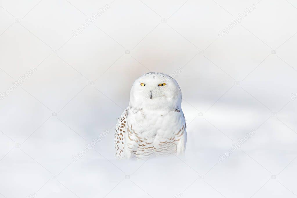 Snowy owl, Nyctea scandiaca, rare bird sitting on snow, winter with snowflakes in wild Manitoba, Canada. Cold season with white owl. Wildlife scene, snowy nature. Yellow eyes in white plumage feathers.