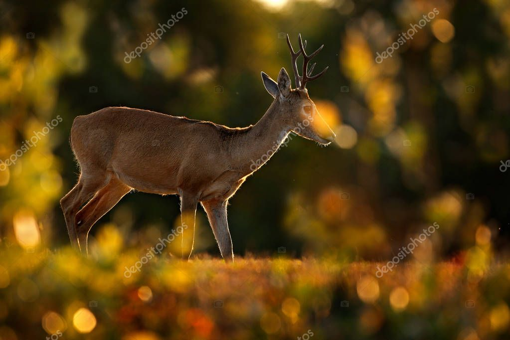 Pampas Deer, Ozotoceros bezoarticus, sitting in the green grass, Pantanal, Brazil. Wildlife scene from nature. Deer, nature habitat. Wildlife Brazil. Two mammals, grass woodland. Evening back-light