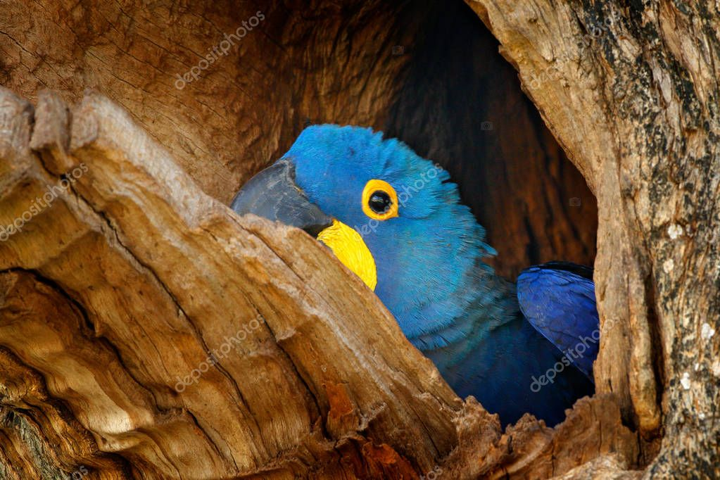 Hyacinth Macaw, Anodorhynchus hyacinthinus, in tree nest cavity, Pantanal, Brazil, South America. Detail portrait of beautiful big blue parrot in nature habitat. Macaw in nest hole. Nesting behaviour.