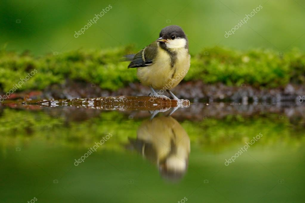 Great Tit, Parus major, black and yellow songbird sitting in the water, nice lichen tree branch, bird in the nature habitat, spring - mirror reflection, Germany. Wildlife scene from forest lake