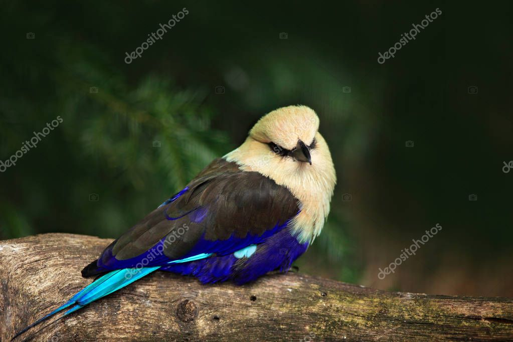 Blue-bellied Roller, Coracias cyanogaster, in the nature habitat. Wild bird form Liberia in Africa. Beautiful bird with white head sitting on the tree trunk in the forest. Wildlife scene from nature