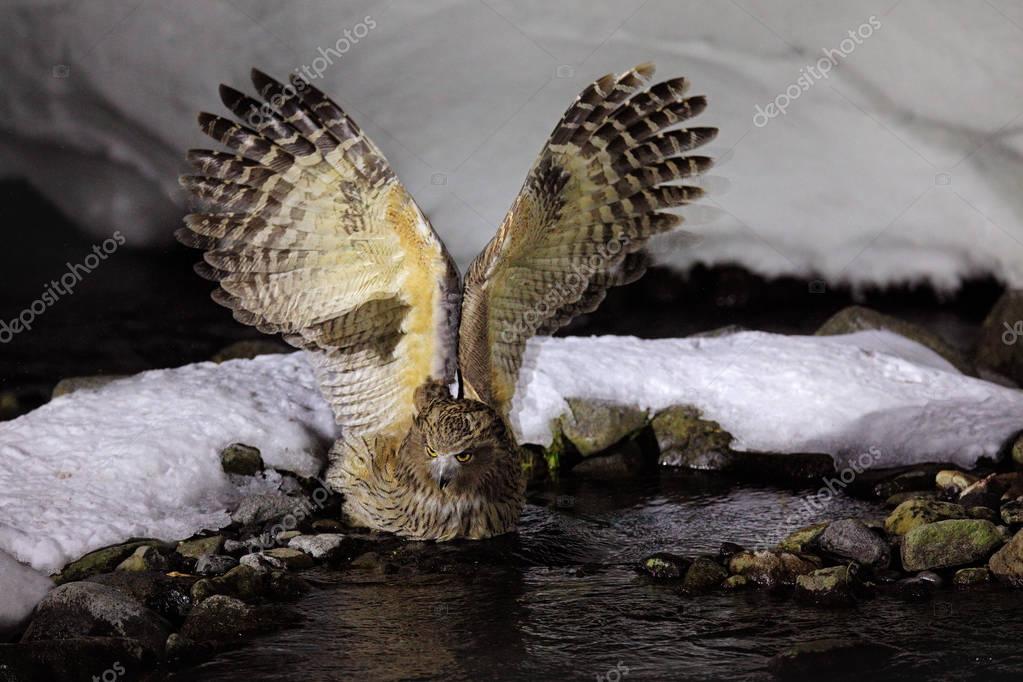 Blakiston's fish owl, Bubo blakistoni, largest living species of owl, fish owl, eagle owl. Bird hunting in cold wate. River bird with wings. Night bird. Wildlife scene, winter Hokkaido, Japan.