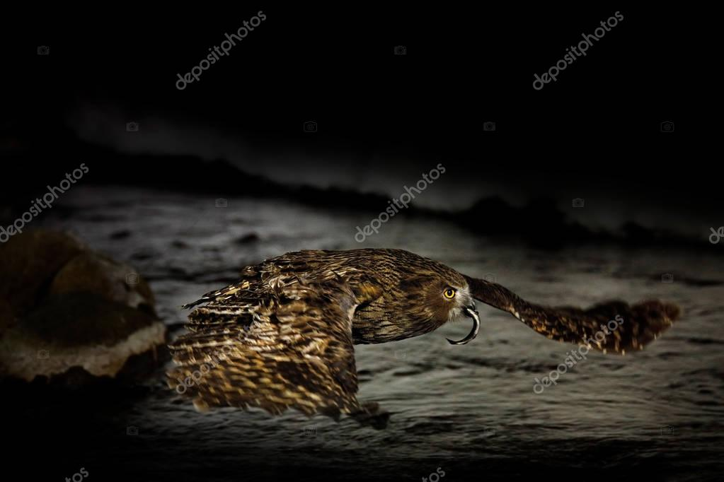 Blakiston's fish owl, Bubo blakistoni, night fly with catch, fish owl, a sub-group of eagle. Bird hunting in cold water. Wildlife scene, winter Hokkaido, Japan. River bird with open wings