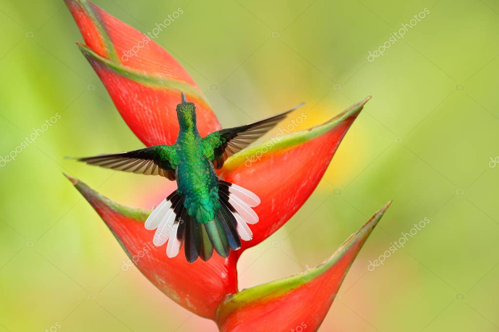 Beautiful bird with red bloom. Heliconia flower with hummingbird. Tobago Island. Hummingbird White-tailed Sabrewing flying next to beautiful Strelitzia red flower. Wildlife scene from tropic forest.