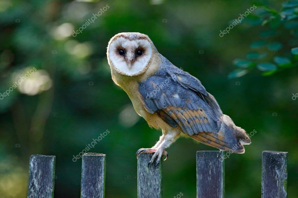 Barn owl sitting on wooden fence with dark green background, bird in habitat, Czech republic, Central Europe. Urban wildlife. Owl in the garden. Bird in nature.