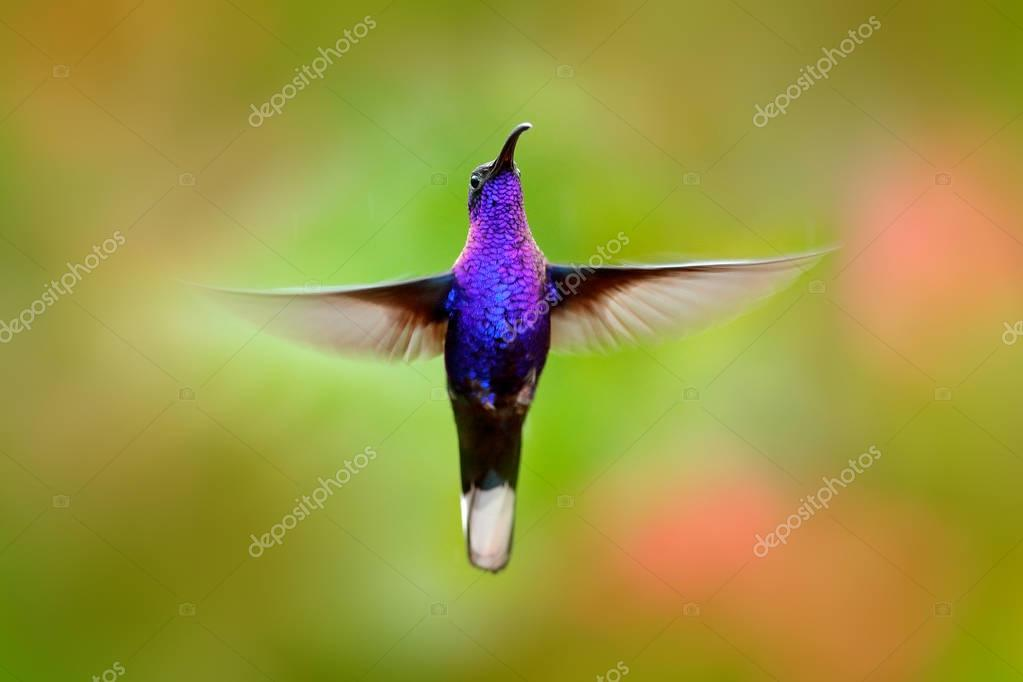 Flying hummingbird. Action wildlife scene from nature. Hummingbird from Costa Rica in tropic forest. Flying big blue bird Violet Sabrewing with blurred green background. Shiny bird. Bird in fly.