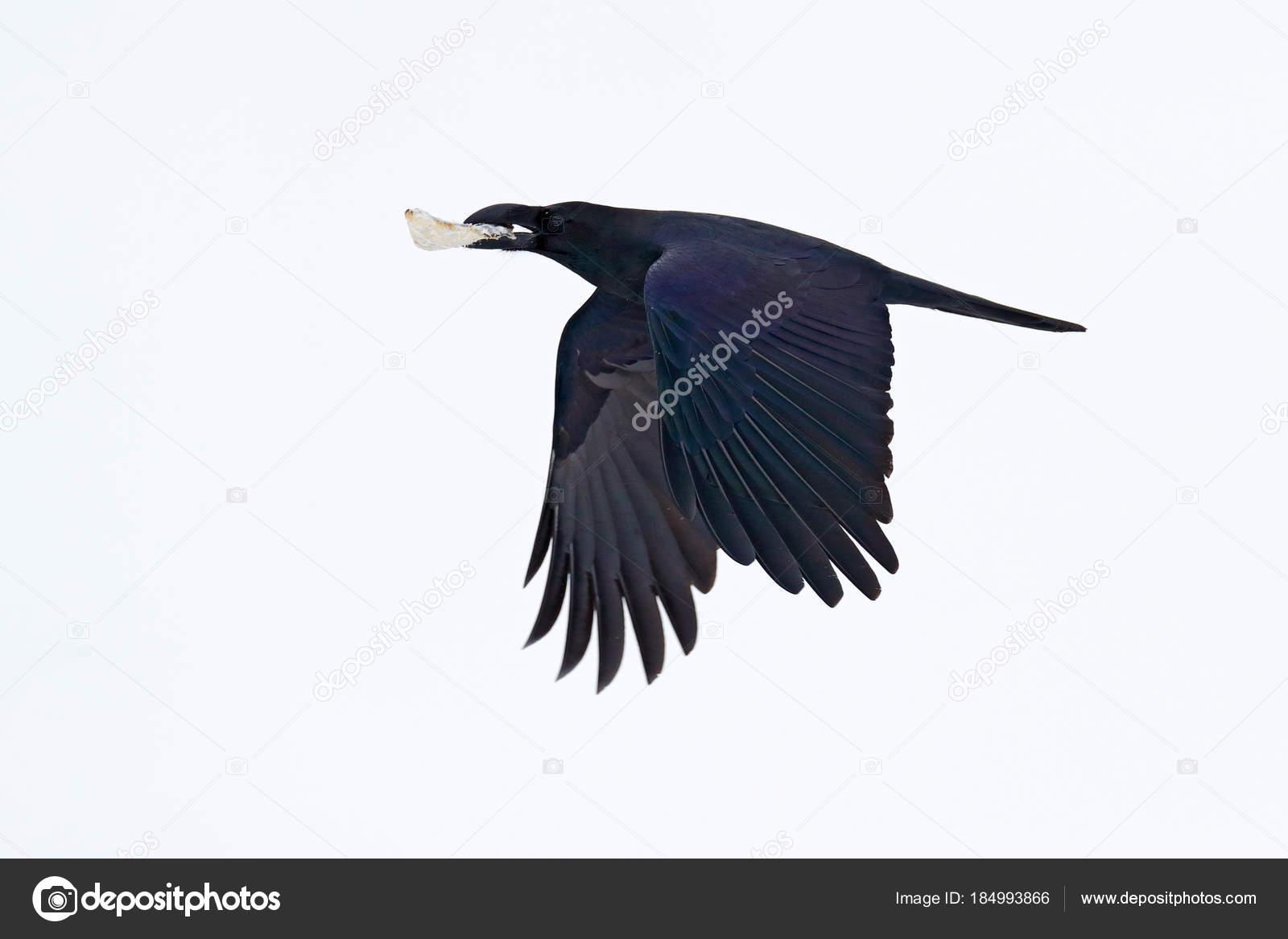 εικόνα του μεγάλο μαύρο πουλί συνελήφθη πορνό