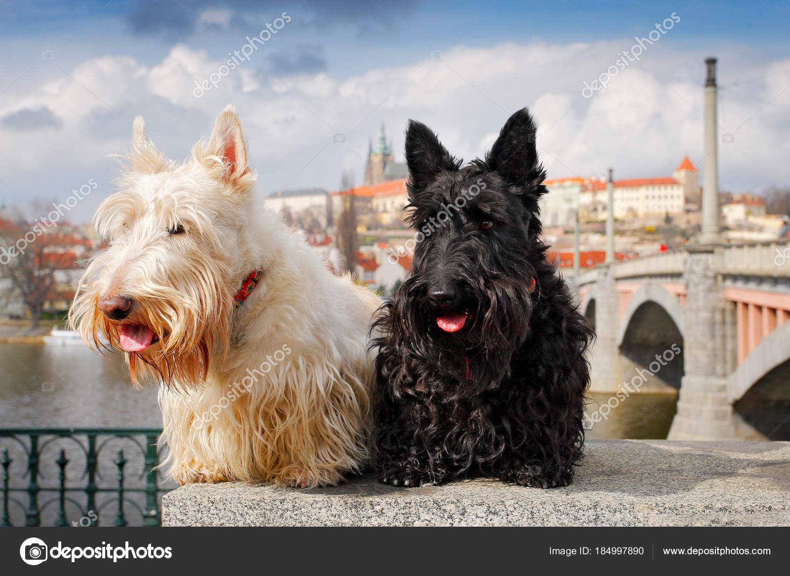 Black And White Whisky Dogs Scottish Terrier Black White Wheaten Dog Pair Beautiful Dogs Sitting Stock Photo Ondrejprosicky 184997890