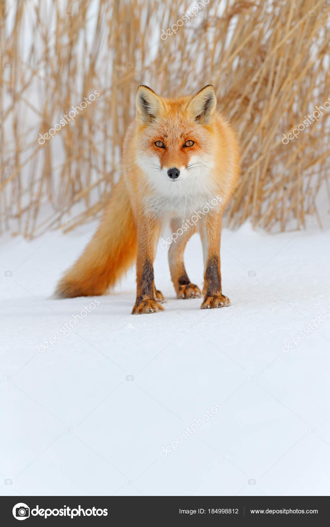 白い雪に赤い狐 オレンジ毛皮フォックスと冬は寒い 雪に覆われた