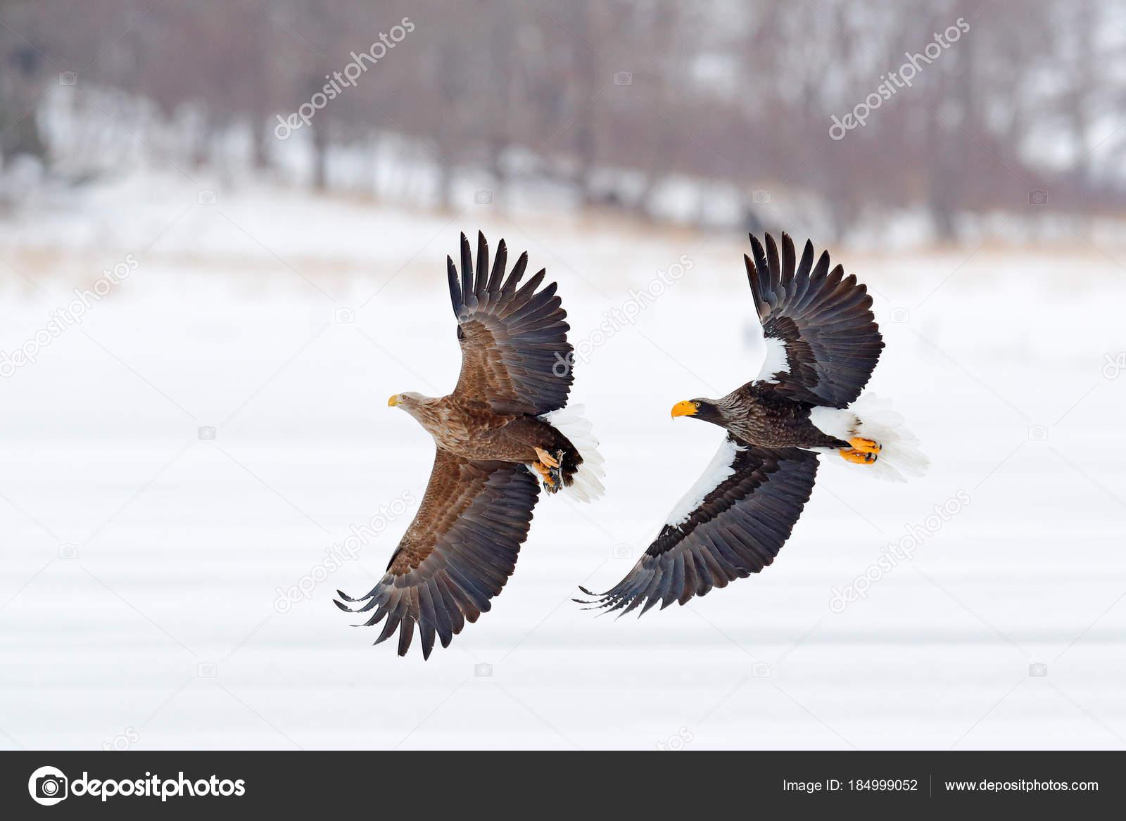 Walka Orła Orzeł Walki Rybą Zimowa Scena Ptaki Drapieżne Wielkie
