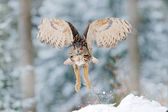 Fotografie Owl start from snow. Flying Eurasian Eagle owl with open wings with snow flake in snowy forest during cold winter. Wildlife Europe, Germany. Owl in nature habitat. Bird action scene.