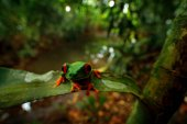 Fotografie Red-eyed Tree Frog, nature habitat, animal with big red eyes, in forest river. Frog from Costa Rica, wide angle lens. Beautiful frog in junge, exotic animal, central America, red flower. Big red eyes.