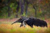 Fotografia Formichiere, animale sveglio dal Brasile. Esecuzione di formichiere gigante, Myrmecophaga tridactyla, animale con coda lunga e il naso di registro, in habitat forestale di natura, Pantanal, Brasile. Fauna selvatica in Sudamerica. Immagine divertente