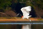 Fotografia Volo di Cicogna jabiru. Jabiru, Jabiru mycteria, uccello bianco e nero in acqua verde con fiori, ali aperte, animale selvatico nellhabitat naturale, Pantanal, Brasile. Uccello di volo bianco nella foresta tropicale