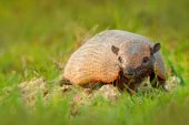 Fotografie Six-Banded Armadillo, Yellow Armadillo, Euphractus sexcinctus, Pantanal, Brazil. Wildlife scene from nature. Funny portrait of Armadillo, face portrait, hidden in the grass. Wildlife of South America.