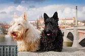 Fotografie Skotský teriér, černé a bílé pšenice psa, pár krásných psů sedí na most, Pražský hrad v pozadí. Cestování se psy, Česká republika, Evropa. Roztomilá zvířátka na cesty