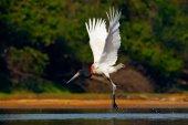 Fotografia Uccello bianco volante nella foresta tropicale. Volo di Cicogna jabiru. Jabiru, Jabiru mycteria, uccello bianco e nero in acqua verde con fiori, ali aperte, animale selvatico nellhabitat naturale, Pantanal, Brasile