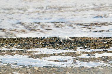 Polar fox in habitat, winter landscape, Svalbard, Norway. Beautiful animal in snow. Running fox. Wildlife action scene from nature, Vulpes lagopus, in the nature habitat. Hidden in habitat, snowy.