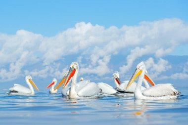 Dalmatian pelican, Pelecanus crispus, in Lake Kerkini, Greece. Palican with open wing, hunting animal. Wildlife scene from Europe nature. Bird on blue sky. Palican with long orange bill. Bird in fly.