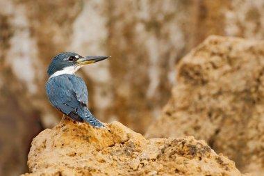 Ringed Kingfisher, Megaceryle torquata, blue and orange bird sitting on the tree branch, bird in the nature habitat, Baranco Alto, Pantanal, Brazil. Wildlife Brazil, river bird.