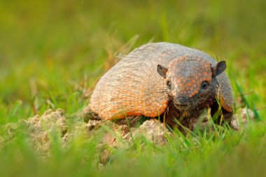 Six-Banded Armadillo, Yellow Armadillo, Euphractus sexcinctus, Pantanal, Brazil. Wildlife scene from nature. Funny portrait of Armadillo, face portrait, hidden in the grass. Wildlife of South America.