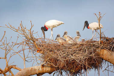 Bird family in nest. Parents with chicks. Young jabiru, tree nest with blue sky, Pantanal, Brazil, Wildlife scene from South America. Animal behaviour in nature. Nesting season in South America.