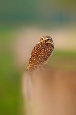 Burrowing Owl, Athene cunicularia, night bird with beautiful evening sun, animal in the nature habitat, Mato Grosso, Pantanal, Brazil. Wildlife scene from nature, wild Brazil Owl. Big eyes in grass.
