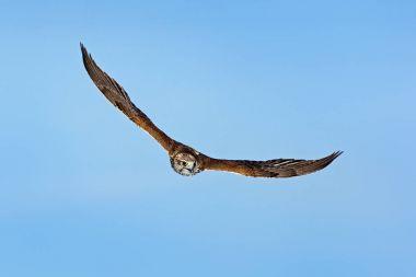 Saker falcon, Falco cherrug, bird of prey fly.  Blue sky in cold winter, animal in nature habitat, France. Bird hunting on sky. Wildlife scene form nature. Bird flight.